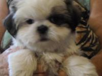 1 small size 10 week old adorable male Shih Tzu puppy.