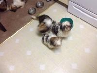 Hello, I have 5 puppies-young shih Tzu. They were born