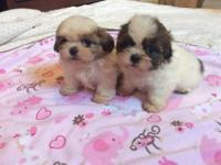 Four shih Tzu puppies, three male and one female, for
