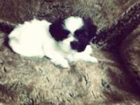 Shih Tzu Puppies For Sale Without Papers. Parents AKC