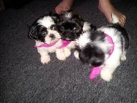 I HAVE 2 FEMALE SHIH TZU PUPPYS FOR SALE ...THEY COME