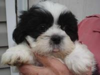 Two elegant litters of Shih Tzu Puppies who are