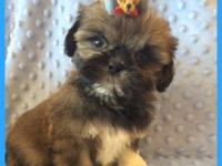 Beautiful shih tzus puppies for sale , health