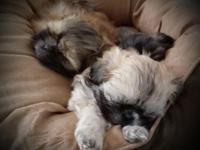 Three male & three female shih tzu puppies born
