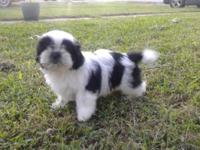 Black & White Female Shih Tzu puppies for sale. $300