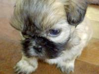 Four male shih tzu puppies born September 6, 2015