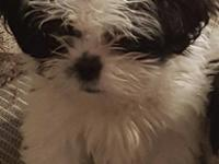 Three black and white Shih  Tzu puppies eight