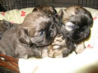 I have beautiful shihtzu badies for sale 2 blue 2 black