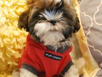 I have 3 GORGEOUS Shih-Tzu puppies available, 1 Girl 2