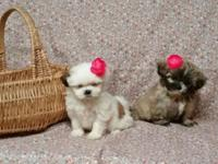 Shih-tzu Puppies: 2 females available - Had first