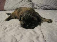 Hi I have male Shih Tzu's they will be ready by January