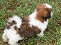 I have 5 absolutely gorgeous Shih Tzu pups, 3 males & 2
