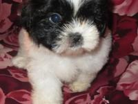 Black & White Small Standard Shih Tzu Puppies We have 3
