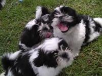 :: I have 3 beautiful purebred Shih Tzus, all males,