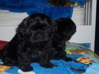 Very precious...shih tzu puppies. rare colors,,,livers,