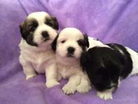 We have 4 Shihtzu young puppies that are prepared to go