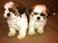 7 1/2 week old Shih Tzu puppies ready for their new