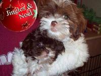 Two Female Shih Tzu puppies READY NOW For Christmas!