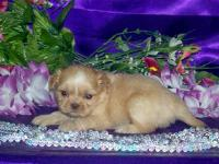 We have 4 shih tzu males available for adoption. They