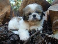Stunning litter of Shih Tzu puppies.. These cuties are