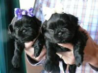 I have a few Shih Tzu puppies left that need a great