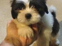 BEAUTIFUL SHIH TZU PUPS AVAILABLE. I HAVE ONE BOY AND