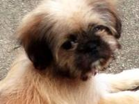 Female shih-tzu she is 12 weeks old doing GREAT on