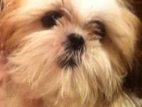 Female purebred Shih Tzu puppy, born Dec 18, 2012. Home