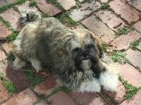 1 male shih tzu puppy looking for his forever family.