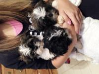 PB Shih~tzu Puppy with full registration, current on