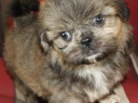 Male Shih Tzu with brindled colors of white, black and