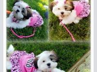 Beautiful female shih tzu puppy. She's 10 weeks and has