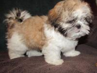 Male Shih Tzu puppy. He's red sable and white. He loves