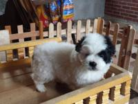 Shih-tzu mix puppies available now... mom is pure bred