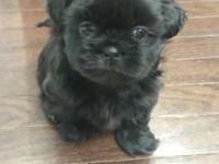 Female shih tzu puppy will be 8 weeks June 26th. Very
