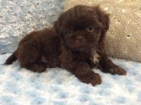 Avery is a tiny solid chocolate male shih-tzu,