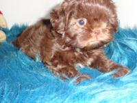 Diesel is a gorgeous liver Imperial Shih Tzu puppy. He