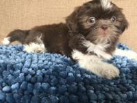 Beautiful chocolate and white male shih-tzu, ready for