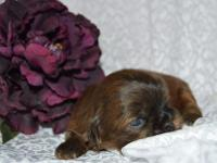 CKC registered shi Tzu puppies. Family raised and cared