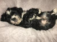 Runt of the litter. a Shih Tzu is a wonderful breed for