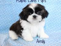 Andy is a Classically Marked Dark Gold & White. He has