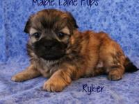 Ryker is a Stunning Solid Creamy Gold! He has a Black