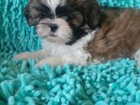 AKC registered Tri-Color male shih tzu pup ready to go