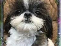 Austin is a sweet little Black & white imperial shih