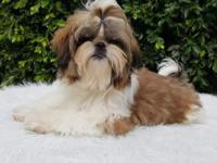 Brown and white imperial shih tzu boy with a cute doll