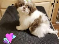 AKC Liver and white Shih Tzu Female TINY Imperial
