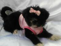 We have our beautiful black with some white shih tzu