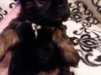 Gorgeous small AKC little girl shih Tzu. Very healthy,