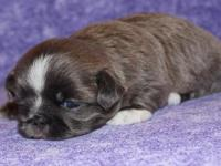 Benjy is a small rare colored solid blue male Shih Tzu