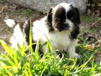 Beautiful litter of Shih Tzus guaranteed to be your